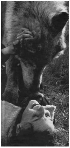 Faye Ginsburg y el lobo Remus saludándose y jugando en el laboratorio de Benson Ginsburg, en The University of Chicago. Publicada en la revista Look, «Un lobo puede ser el mejor amigo de una chica», de Jack Star, 1963. Fotografía de Archie Lieberman. Colección de la revista Look, Biblioteca del Congreso, División de impresiones y fotografías, LC-L9-60-8812, fotograma 8.